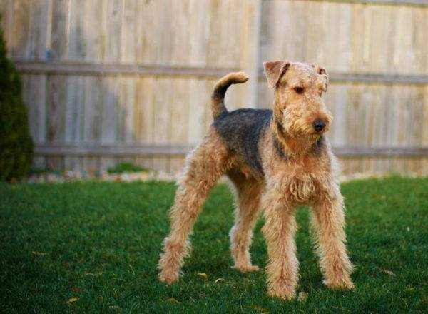 Airedale-terrieri